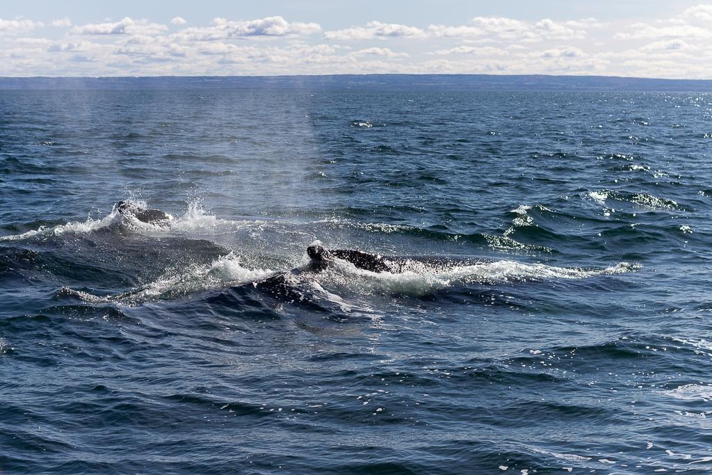 Rorqual à Tadoussac (baleine)
